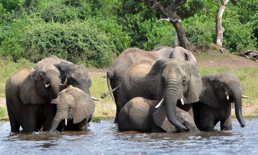 Nearly 100 elephants killed for ivory in Botswana in what is believed to be one of Africa's worst mass poaching sprees