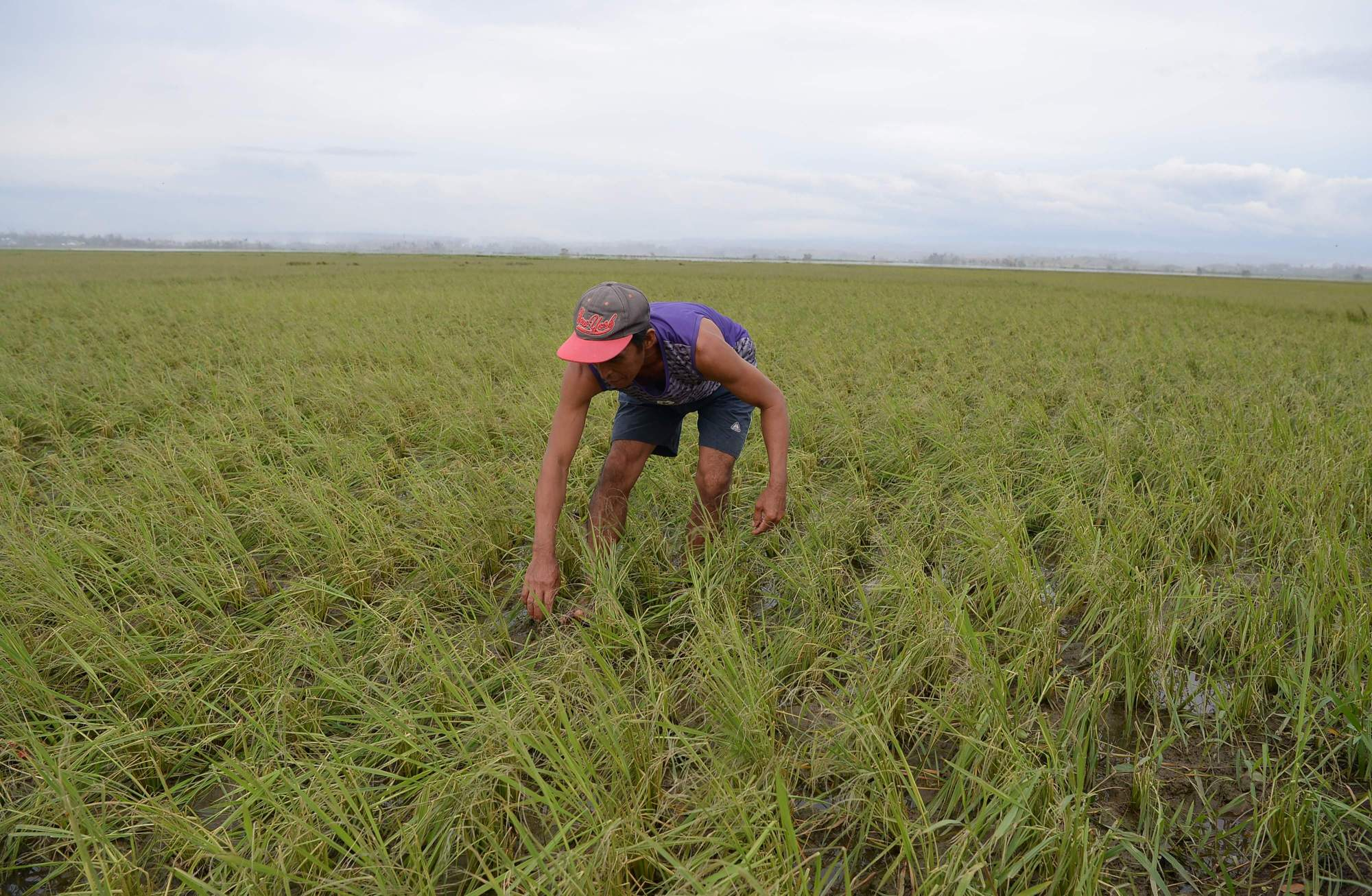 A Filipino farmer inspects his rice plantation devastated by Typhoon Mangkhut in Alcala, Cagayan province, on Sept. 16. | AFP-JIJI