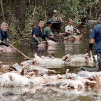 Employees of Murphy Family Farms along with friends and neighbors float dead pigs down a flooded road on Rabon Maready's farm near Beulaville, North Carolina, in 1999. The hogs drowned from the floodwaters of the NE Cape Fear River after heavy rains from Hurricane Floyd flooded the area. The heavy rain expected from Hurricane Florence could flood hog manure pits, coal ash dumps and other industrial sites in North Carolina, creating a noxious witches' brew of waste that might wash into homes and threaten drinking water supplies. | AP