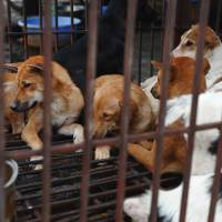 Dogs waiting to be slaughtered for meat sit in a pen a dog slaughterhouse in Hanoi in 2012. Hanoi officials urged residents on Tuesdayto ease off eating dog meat, saying the popular dish is tarnishing the city's image and risks spreading rabies. | AFP-JIJI