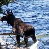 Moose crowded by onlookers on shore drowns in Vermont after crossing Lake Champlain