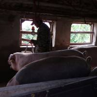 China's small farmers pose huge challenge in swine fever battle