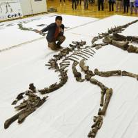 A set of bones from a large herbivorous dinosaur of the Hadrosaurid family is unveiled in Mukawa, Hokkaido, on Sept. 4. | KYODO