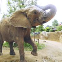 Lily, a female African elephant at Selcohome Zoo Paradise Yagiyama, has not shown any breeding behavior for years. | SELCOHOME ZOO PARADISE YAGIYAMA / KYODO