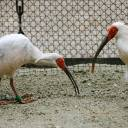 The last time China donated crested ibises to Japan was in November 2007.