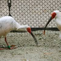 China plans to donate ibises to Japan in October amid warming ties
