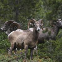 Both good leaders and followers are necessary for wild bighorn sheep to migrate. | SIPA USA VIA AP