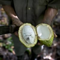 A worker shows the inside of a cacao pod at a cacao plantation in Cano Rico, Venezuela, in 2012. A paper published Monday says tests indicate traces of cacao on artifacts from a South American archeologic site estimated to be 5,400 years old. That makes about 1,500 years older than cacao's known domestication in Central America. | AP