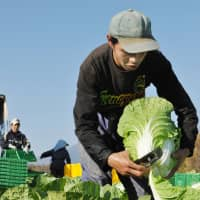 A Chinese trainee harvests a cabbage at a farm in Kawakami, Nagano Prefecture, in October 2009. As the agriculture sector continues to suffer from a serious labor shortage, the government is considering allowing foreign nationals to come to Japan as seasonal workers. | KYODO