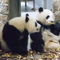 China and Japan set to agree on panda lease during Abe's visit
