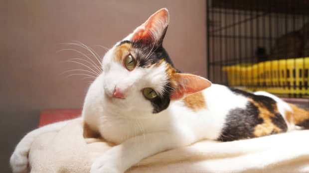 Unstoppable: a calico cat named Leggy