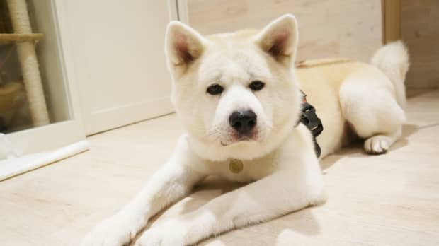 The heart knows: An Akita named Harry