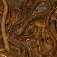 Prize catch: Juvenile eels reached a record ¥3.9 million per kilo in January 2018.