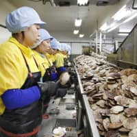 Open market: Foreign trainees shell scallops at a factory in Monbetsu in Hokkaido in July 2016. | KYODO