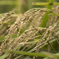Japanese rice farmers now see overseas market as potential savior