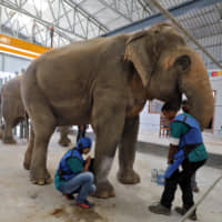 Vets take an X-ray of a leg of Phoolkali, a female elephant, at the Wildlife SOS elephant hospital, India's first hospital for elephants run by a non-governmental organization in the northern town of Mathura on Friday. | REUTERS