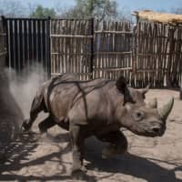 Four of 6 rare black rhinos die after move to Chad, possibly from starvation