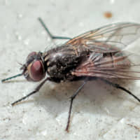 Musca's name is derived from the scientific name of the housefly: Musca domestica. Musca's flies have been developed over the past 45 years and 1,100 generations of selective crossbreeding. | MUSCA INC.