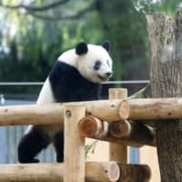 Ueno Zoo's Xiang Xiang the panda begins to live separately from mother