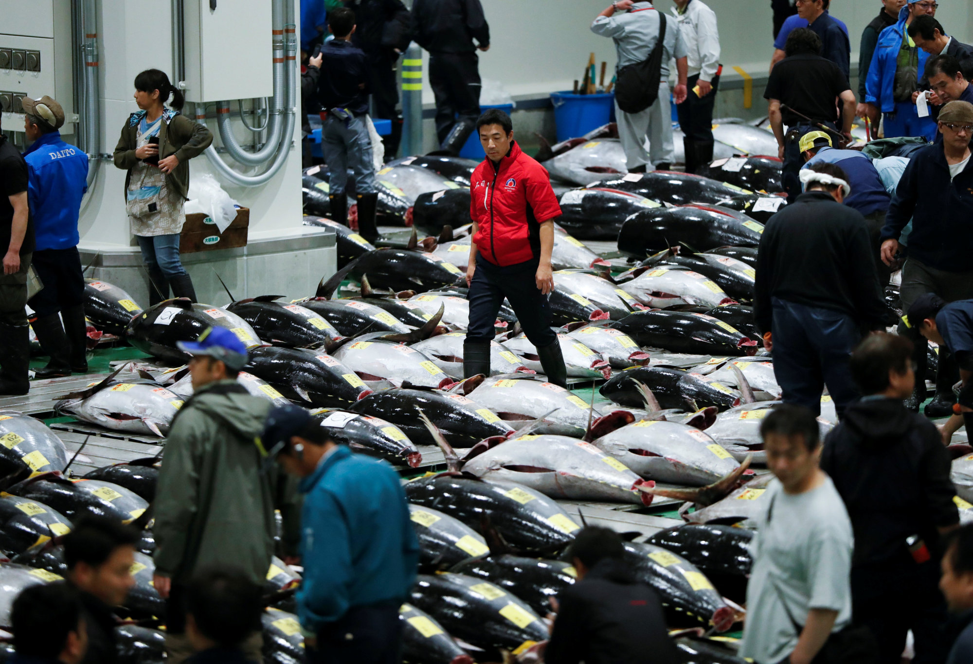 Wholesalers check the quality of frozen tuna displayed during the first tuna auctions on the opening day of the new market, which recently opened in Toyosu, not far from the old site at Tsukiji, in central Tokyo, on Oct. 11. | REUTERS