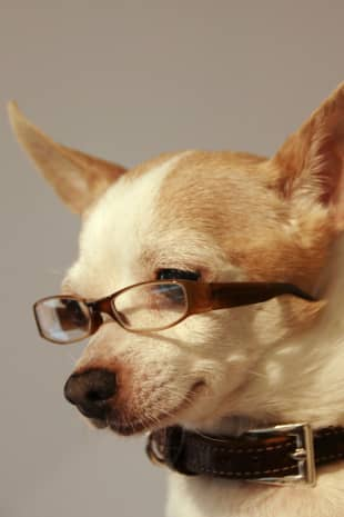 Doggone-good style: Rain the Chihuahua sports a stylish pair of custom-made glasses.