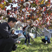 Visitors examine Koshu grapes last month at a winery in Fuefuki, Yamanashi Prefecture. Japanese winemakers hope to expand exports after a free trade agreement between Japan and the European Union enters into force in February. | KYODO