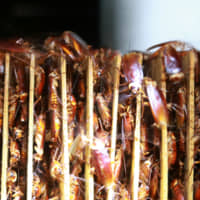 Cockroaches are seen among cardboard shelves at a farm operated by pharmaceutical company Gooddoctor in Xichang, China, in August. | REUTERS