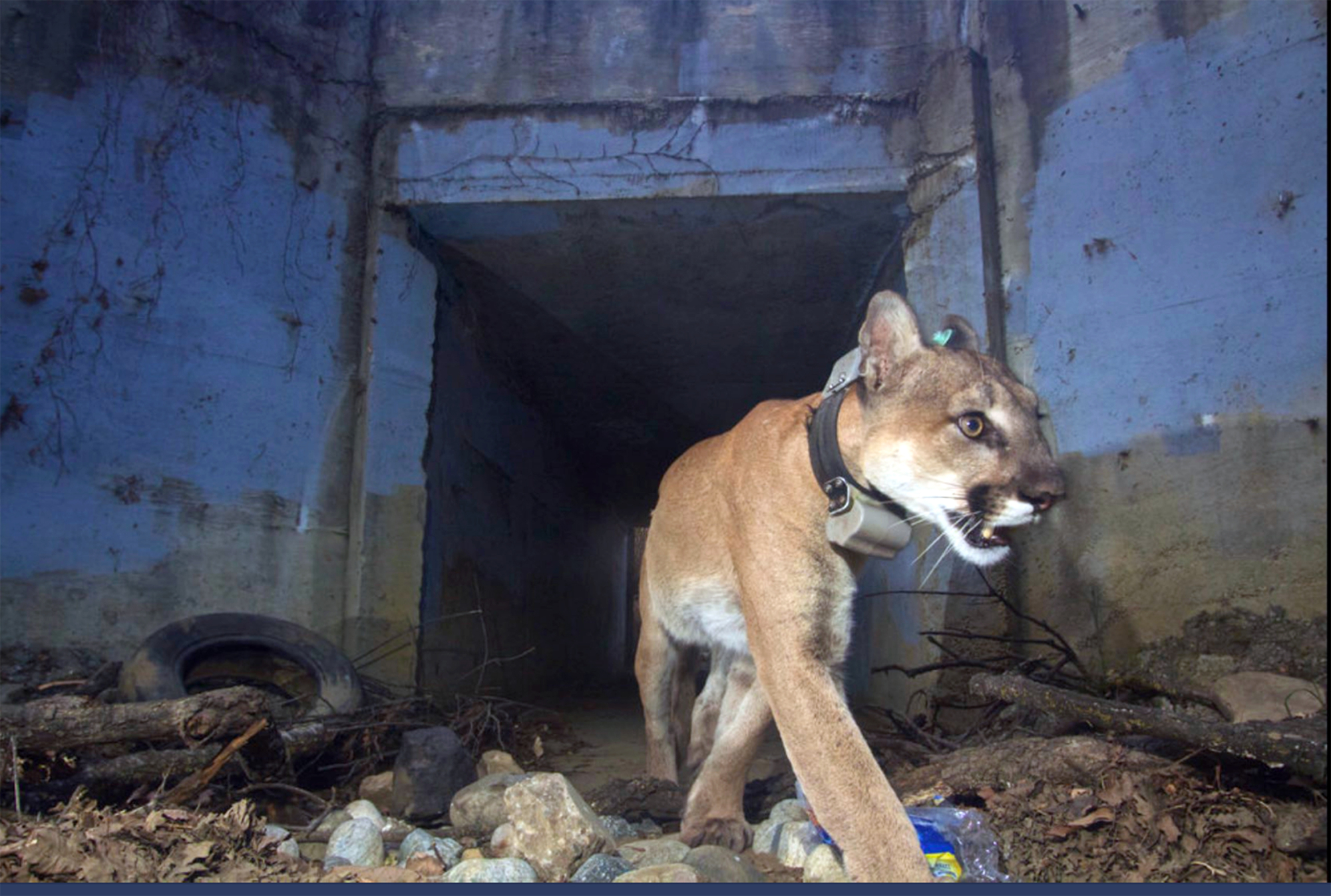 The mountain lion known as P-64 crosses Highway 101 in Agoura Hills, California, on May 22. | U.S. NATIONAL PARK SERVICE / VIA AP