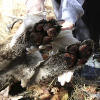 P-64's burned paws are seen in Simi Hills on Dec. 3. | U.S. NATIONAL PARK SERVICE / VIA AP