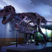 The Tyrannosaurus rex dubbed Sue, the largest and best-preserved example of this well-known meat-eating dinosaur, is pictured in its new exhibition suite at the Field Museum in Chicago in this photo released on Tuesday. | COURTESY MARTIN BAUMGAERTNER / THE FIELD MUSEUM / HANDOUT / VIA REUTERS
