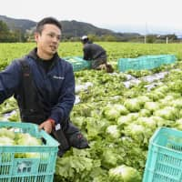 Naoto Myokan who works at Topriver, a company which supports people who are attempting to start their own faming business, harvests lettuce in Nagano Prefecture on Oct. 13, 2018. | KYODO