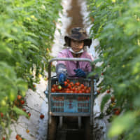 A Vietnamese worker picks tomatoes on a farm in Asahi, Chiba Prefecture, on Dec. 16. | BLOOMBERG