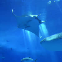 A giant oceanic manta ray swims with a whale shark and other fish at Okinawa Churaumi Aquarium in the town of Motobu on Nov. 28.   THE OKINAWA TIMES
