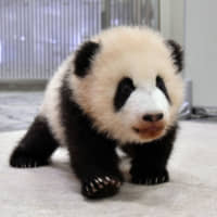 'Saihin' wins out in Wakayama zoo's competition to name giant panda cub