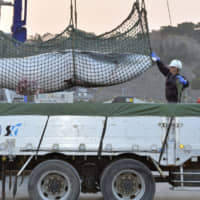 A minke whale that has been captured off the coast of Miyagi Prefecture is loaded onto a truck at Ayukawa Port in the city of Ishinomaki in April 2014. | KYODO