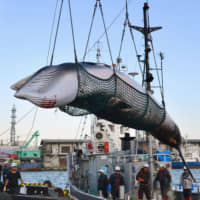 A minke whale is  hauled ashore at the port of Kushiro in Hokkaido in September 2017. | KYODO