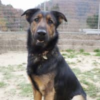 Full of energy and love: Rivas is a German shepherd mix who loves playing in the water.   MACHIKO NAKANO