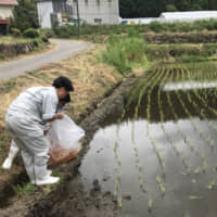 Waste not: Students of Sera High School in Sera, Hiroshima Prefecture, release carp fry, which had been rejected by nishikigoi (multicolored carp) farms, into rice paddies to help control pests and weeds. | COURTESY OF SERA HIGH SCHOOL