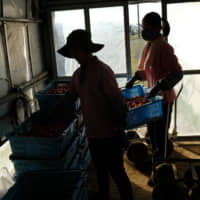 Vietnamese workers stack containers at a tomato farm in Asahi, Chiba Prefecture, in December.  | BLOOMBERG