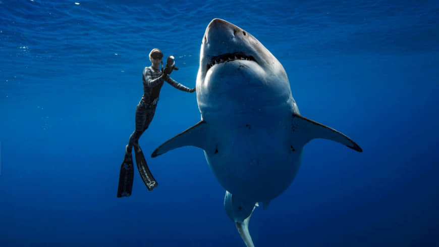 What appears to be Deep Blue, one of the largest great white sharks ever recorded, swims alongside a diver off Hawaii on Tuesday.