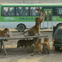 Visitors watch from a bus as Siberian tigers try to catch a chicken at the Siberian Tiger Park in Harbin, China, on Dec. 27, 2011. | REUTERS