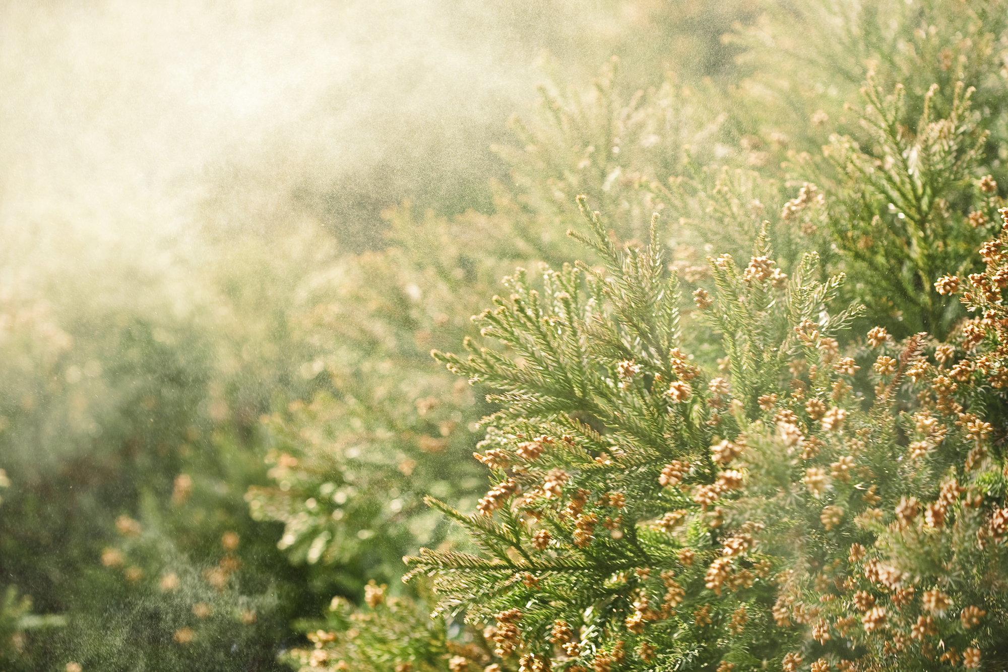 This spring's pollen season is projected to arrive in mid-February in much of Japan. | GETTY IMAGES