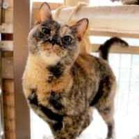 Good luck charm: Herb is a tortoiseshell cat, a breed thought to bring its owners good fortune. | MACHIKO NAKANO