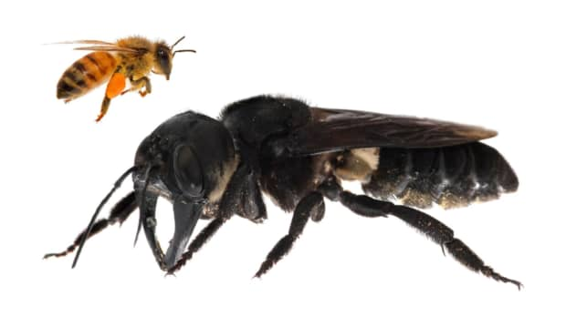 'Flying bulldog': Unseen for 40 years, world's largest bee buzzes back