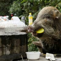 In Year of the Pig, Hong Kong faces dilemma with abundance of wild boars