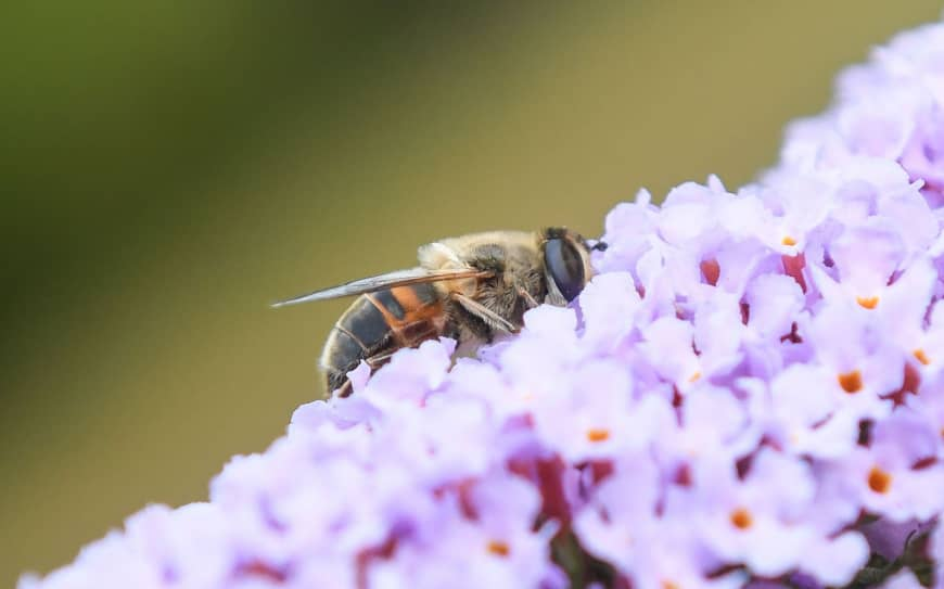 This July photo taken in Locon near Lille, France, shows a bee on a flower. Nearly half of all insect species, vital to both ecosystems and economies, are in rapid decline worldwide, a scientific study said Monday, warning of a