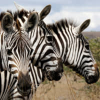 Why do zebras have stripes? Because they make bad landing strips for flies