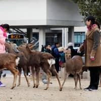 Visitors feed deer at Nara Park earlier this month. | KYODO