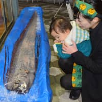 A 3.3-meter-long oarfish, a species usually found in deep tropical seas, is displayed at the Niigata City Aquarium in February 2016.  | KYODO
