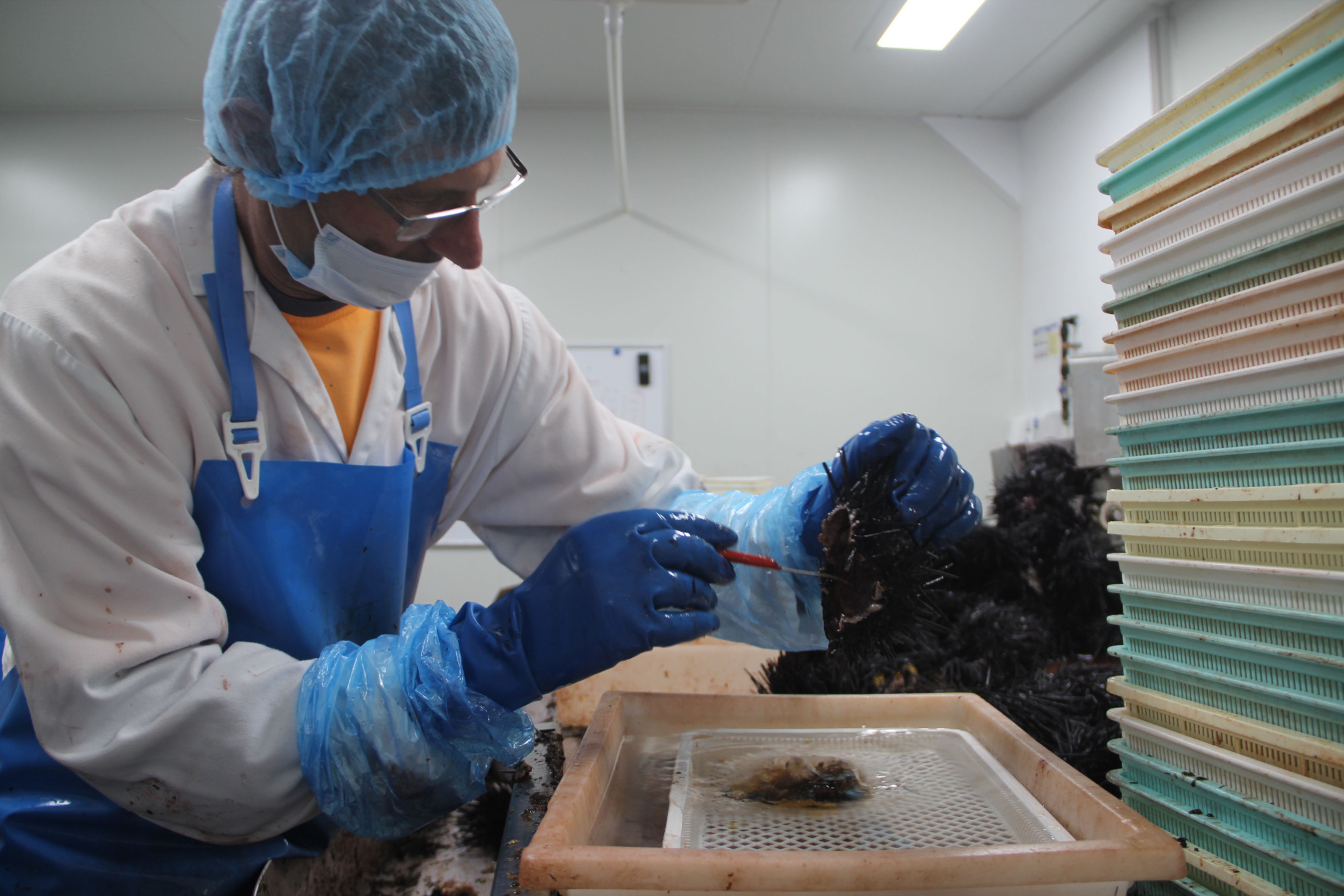 A worker at Ralph's Tasmanian Seafood separates sea urchin roe from innards at a processing facility in Electrona, Australia, on Jan. 23. | KYODO